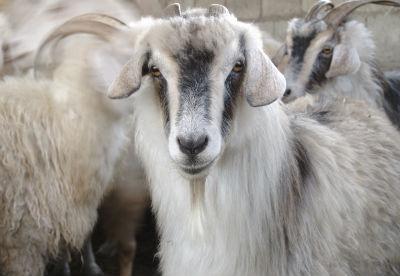 Aus Angoraziegen wertvolle Wolle schöpfen