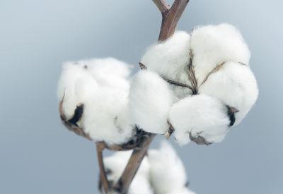 Baumwolle das Naturprodukt